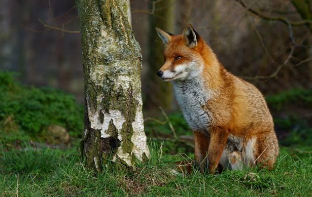 棕色狐狸高清壁纸特写照片