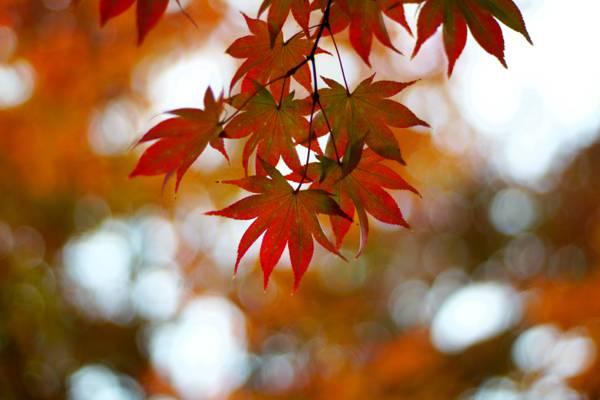 红叶倾斜摄影,日本枫树高清壁纸