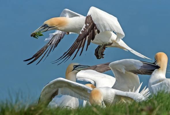 翅膀,喙,北方的甘尼特,鸟
