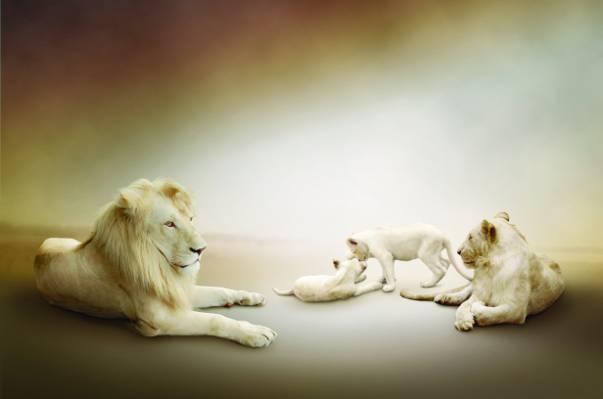 壁纸家庭,狮子,幼崽,母狮,白色,玩
