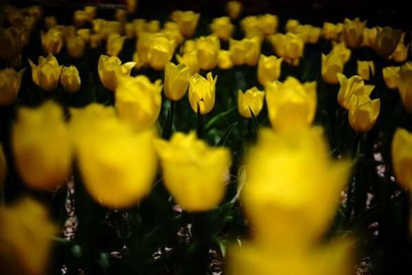 黄色郁金香场高清壁纸的照片