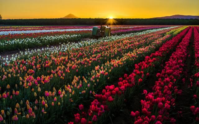 壁纸鲜花,拖拉机,性质,郁金香,领域,太阳,日落,美国