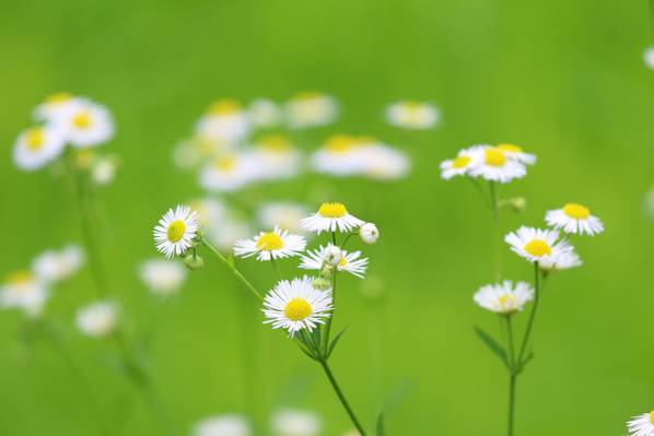 花园,花瓣,黛西,草地,干