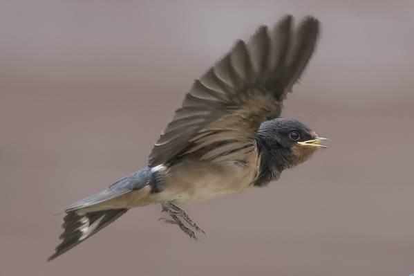 灰色的羽毛鸟,hirondelle高清壁纸的焦点摄影