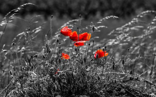 红色花的灰色照片HD墙纸