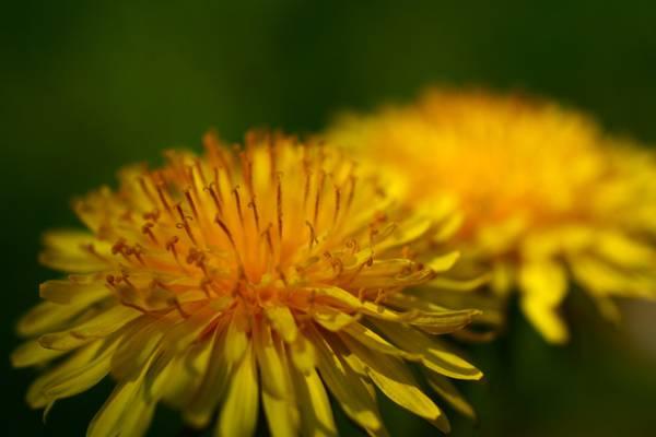 重点摄影黄色的菊花花高清壁纸
