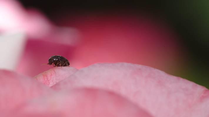黑色甲虫的选择性摄影,玫瑰高清壁纸
