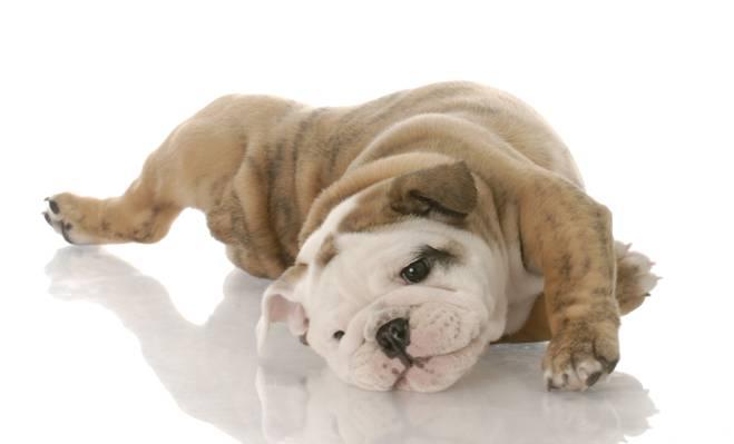 狗,白色背景,小狗,英国牛头犬