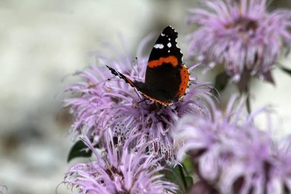 凡妮莎亚特兰大紫色豹花,蝴蝶高清壁纸