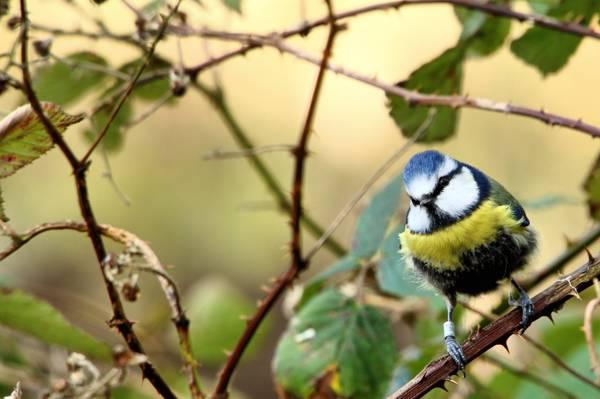 蓝色和黄色的短喙鸟选择性的照片上的树,蓝山雀高清壁纸的分支