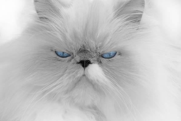 白色的毛皮猫高清壁纸