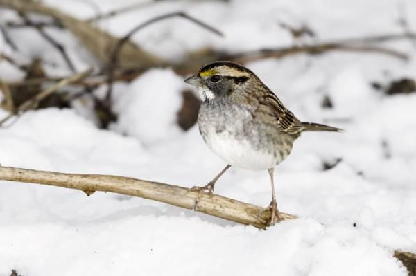 关闭站立在棕色树枝,白红喉刺莺的麻雀HD墙纸的一只灰色鸟的照片