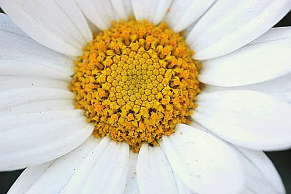 关闭了图像的白色雏菊花高清壁纸
