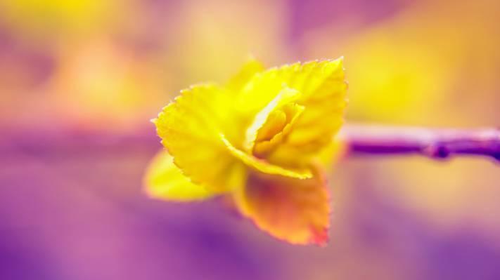 黄色玫瑰花特写镜头照片HD墙纸