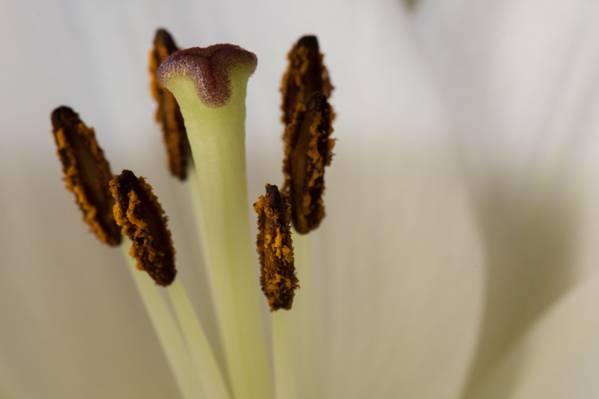 微距摄影的白百合花卉高清壁纸
