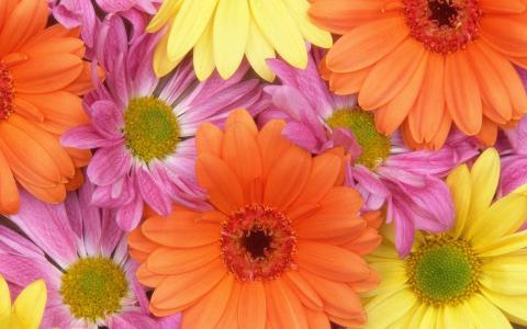 新鲜的雏菊