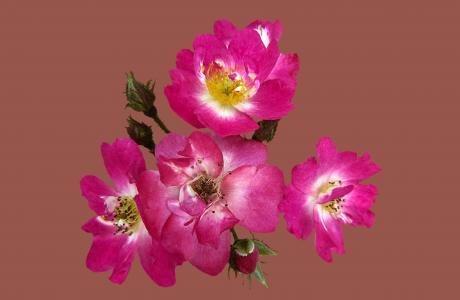 灌木玫瑰罗宾汉, 玫瑰园幸, 玫瑰城幸, 玫瑰花园, 上升, 花, 玫瑰绽放