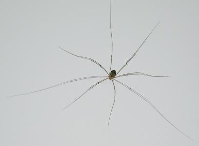 韦伯仆人, 施耐德, langbein, 蜘蛛, 关闭, 昆虫, 蛛形纲动物