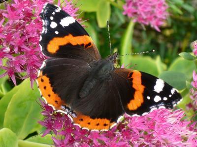 蝴蝶, 昆虫, 翼, 夏季