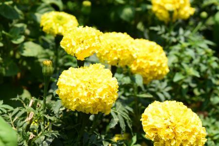 万寿菊, 花, 黄色, 一朵黄花, 泰国清迈, 泰国, 万寿菊花
