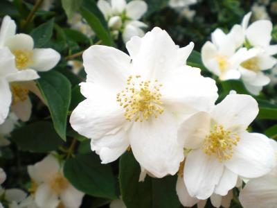 比尔茉莉, 白色, 花开花, 白绿色, 白花盛开, 夏季, 自然