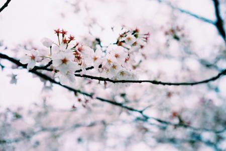 小清新, 春天, 樱花