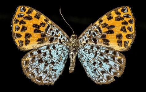 蝴蝶, 多彩, 野生动物, 自然, 女性, argyrogrammana nurtia, 秘鲁