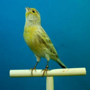 金丝雀, 黑蛋白石, 鸟舍