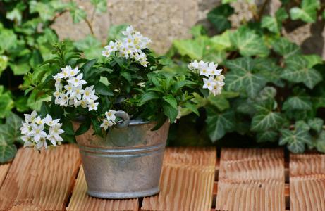 茉莉, 龙葵栀子, 安排, 花园, 花, 花卉的问候, 花盆