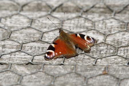 动物, 蝴蝶, 孔雀, monarh, 君主, bug, 橙色