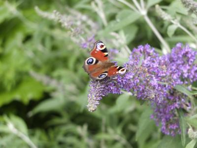 蝴蝶, 丁香, 孔雀, 开花, 绽放, 自然, 美丽