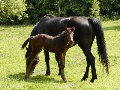 荷尔斯泰因, 马, 小马驹, 动物, 母马, 哺乳动物, 牧场