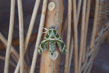蝴蝶, 昆虫, 绿色, 节肢动物, 自然, 翼, 有毛