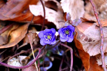 肝鳙, 春天, 蓝色, 自然, 植物, 花, 叶