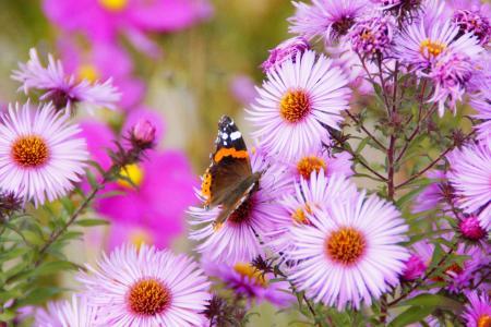 海军上将, 蝴蝶, 花