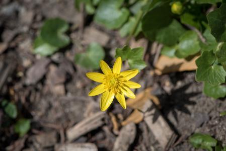 白屈菜, feigwurz, 早就崭露头角, 花, 黄色春天花, 春天的花朵, 黄色