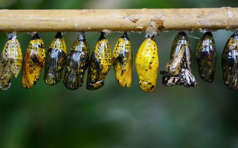 茧, 蝴蝶, 昆虫, 动物, 宏观, 幼虫, 翼