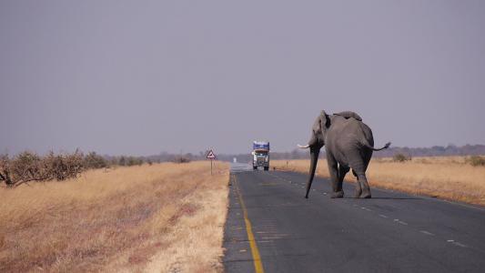 博茨瓦纳, 大象, 道路, 动物主题, 马, 哺乳动物, 家养动物