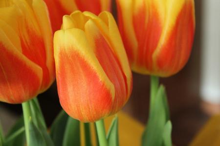 郁金香, 花, 世界地球日, 自然, 花香, 多彩, 颜色