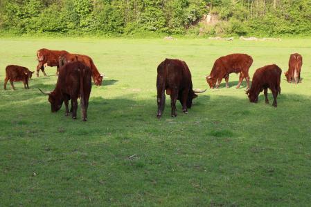 反刍动物, 牛, 牲畜, 喇叭, 家养的牛, 牛肉, 吃草
