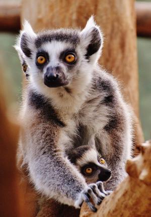 猿, 狐猴, 动物世界, 动物园, 妈妈, 年轻的动物, 安全