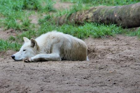 狼, 捕食者, 动物世界, 动物园, 柏林